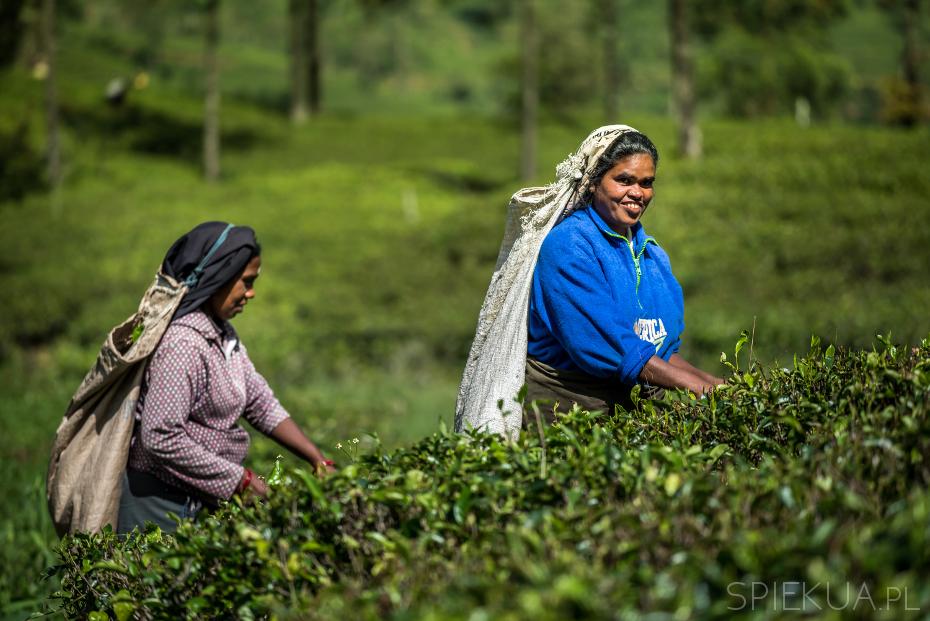 na plantacji herbaty