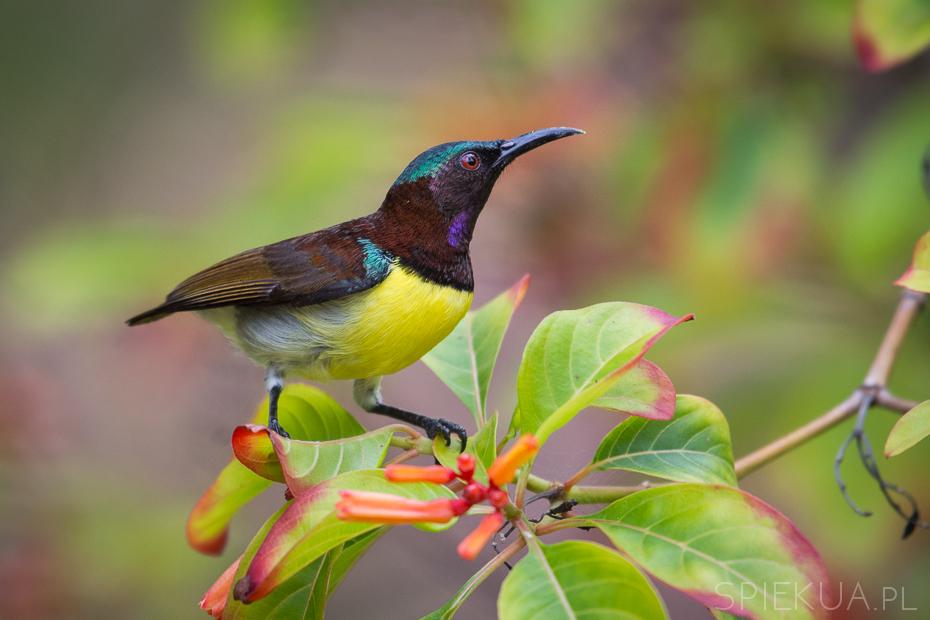 nektarnik