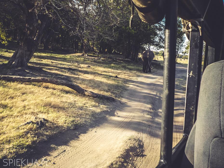 słoń na drodze