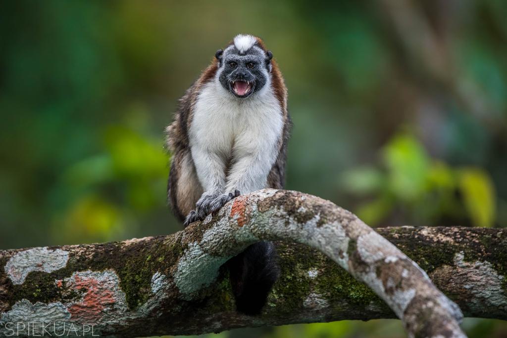 małpka długouszka