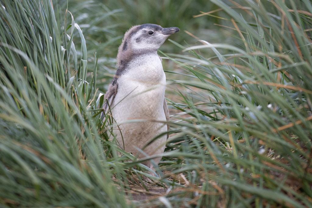 mały pingwinek