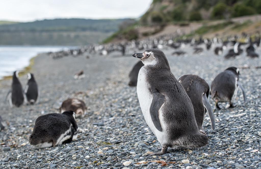 wyprawa na pingwinu Ushuaia