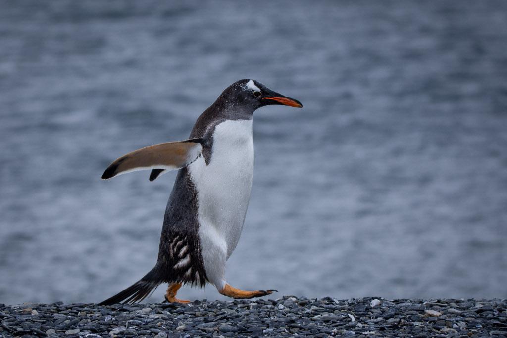 pingwin martillo island