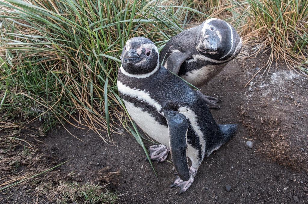 pingwiny szeroki kat