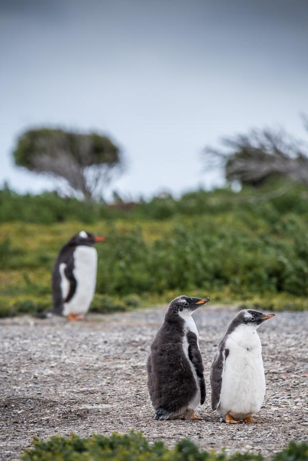 pingwiny antarktyda